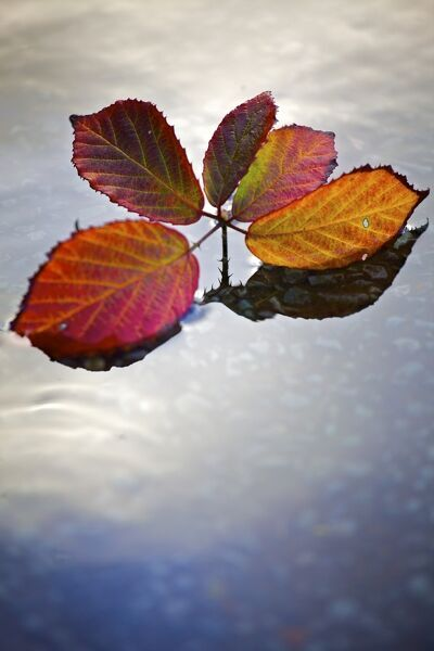 A sprig of leaves in red and gold floating on the surface of water