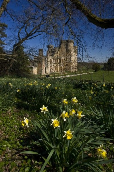 BELSAY HALL, CASTLE & GARDENS, Northumberland. View through the trees towards the castle. Showing the spring daffodils in the foreground