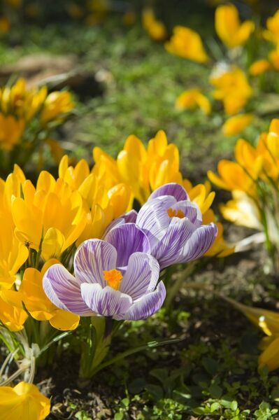 Spring flowers. Detail of yellow and purple and white Crocuses