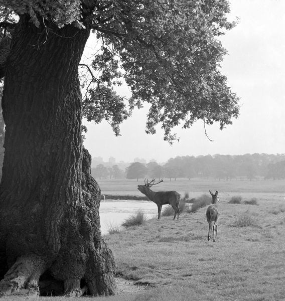RICHMOND PARK, Greater London. A stag looking across a pond in Richmond Park and roaring, a hind to right and a mature oak tree in the foreground to left. John Gay. Date range: Jan 1962 - May 1964