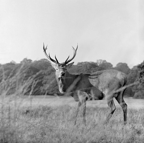RICHMOND PARK, Greater London. A red deer stag standing side on and turning to face the photographer, long grass in the foreground. Photographed by John Gay in 1965