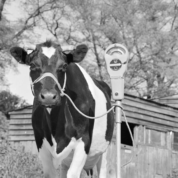 A friesian cow tethered to a mobile parking meter in a farmyard. Photograph by John Gay; date range 1964-1974