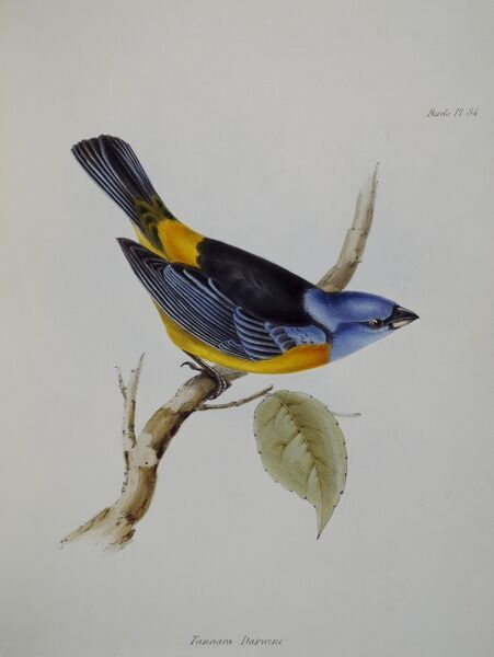 DOWN HOUSE, Kent. Galapagos finch drawn by John Gould. Plate 34 illustration from 'The Zoology of the Voyage of HMS Beagle part 3&#39