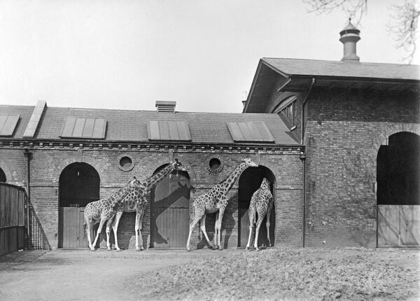 Giraffe House, Zoological Gardens, Regents Park, London. Built 1836-37 by Decimus Burton, the Giraffe House is still in use today. Photographed in 1912 by Rupert Potter