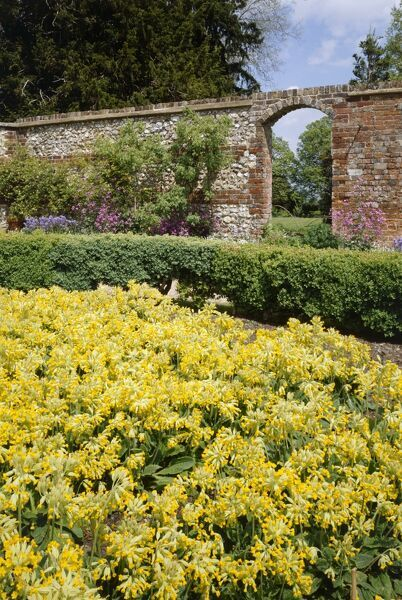 DOWN HOUSE, Kent. A bed of cowslips flowering in the kitchen garden. Originally grown by Darwin for research purposes