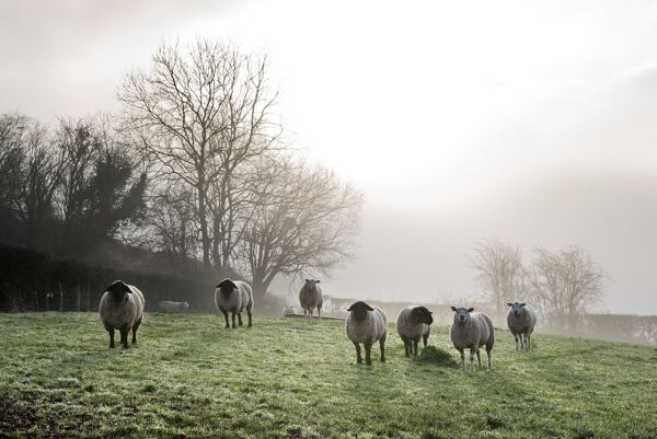 Inquisitive sheep, Herefordshire