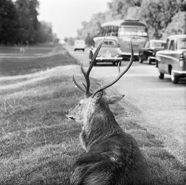 RICHMOND PARK, London. A red deer stag on the roadside verge with cars and a coach passing by. Date range January 1962 - May 1964. John Gay