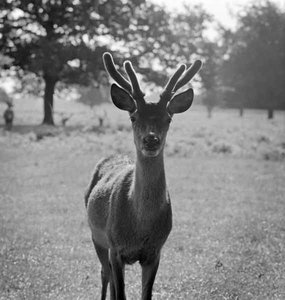 BUSHY PARK, Greater London. A young red deer stag standing looking at the photographer in Bushy Park. Photographed by John Gay in 1964