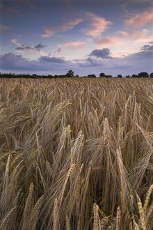 Barley at dusk N071213
