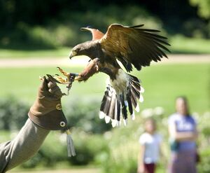 Falconry event at Audley End N070883