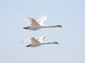 Flying swans DP174915