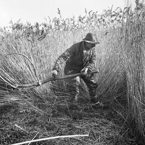 Reed cutting, Norfolk AA98_07734