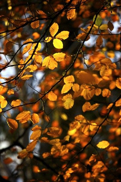 Autumn leaves still on the branch of a tree - yellow and gold