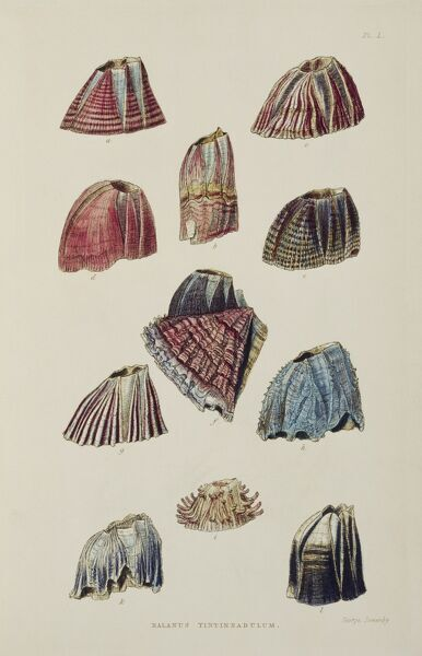 "DOWN HOUSE, Kent. Plate I ""Balanus Tintinnabulum"" showing barnacles from ""A Monograph on the Sub Class Cirripedia"" by Charles Darwin"