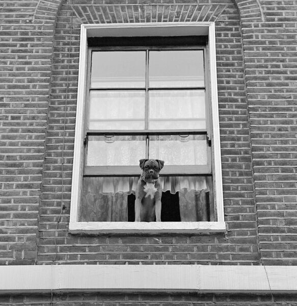 A boxer dog looking out of an upper floor window of a brick-built house, possibly in Highbury Terrace, Islington, London. Photographed by John Gay in 1964