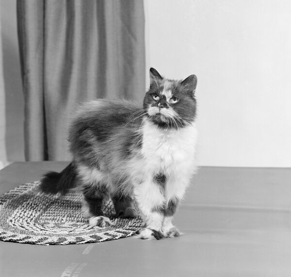 Cat AA067698. A long haired tortoiseshell cat standing on a mat looking up