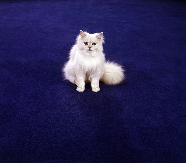 Cat FF003176. A white Chinchilla Persian cat on a blue-coloured Kosset carpet