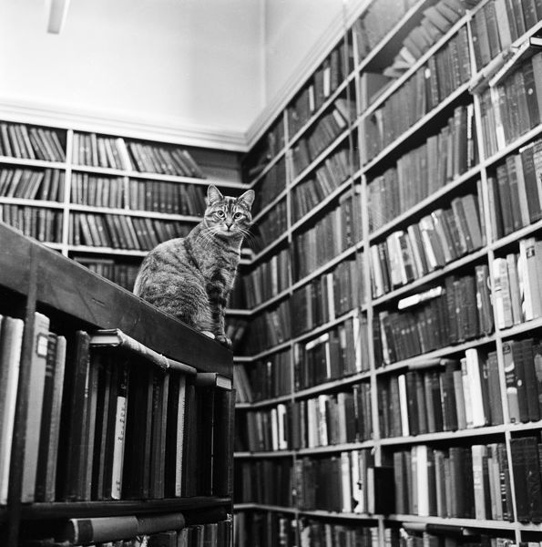 A cat sits on top of a bookshelf in the library at Highgate Literary and Scientific Institution, 11 South Grove, Highgate, London. Photographed by John Gay in 1974