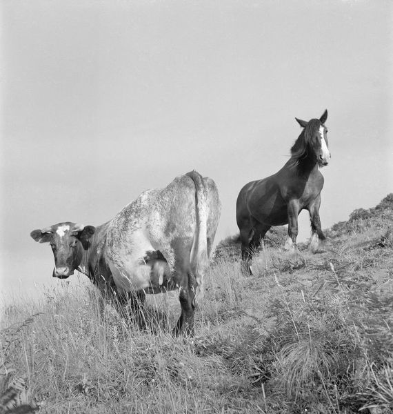 A view of a cow and a shire horse standing on the steep slope of a grassy hill, most likely located in Devon or Somerset. Photographed by John Gay, late 1950s - early 1960s