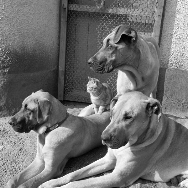 A close up of three Great Dane dogs and a cat, who is sitting on one of their backs, outside a door at Hele Farm in Devon. Photographed by John Gay in April 1958