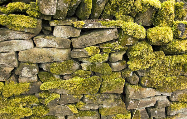 Dry stone wall with lichen and moss. Higherford Mill, Barrowford, Lancashire