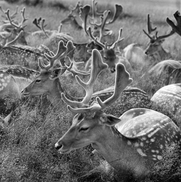 A group of fallow deer bucks lying down in long grass in Bushy Park, London. Photographed by John Gay in 1964