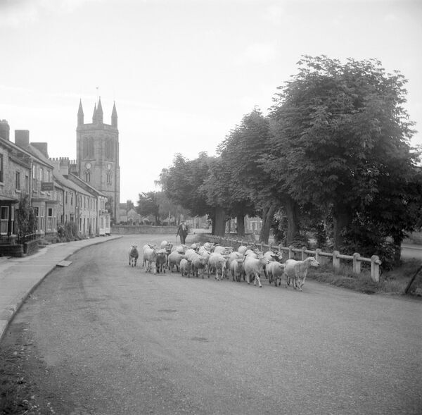 HELMSLEY, Rydale. North Yorkshire.There are some areas of life which technology never seems to change. This shepherd is moving his flock through the town as people still do and have done for centuries. Photographed by Hallam Ashley in 1954