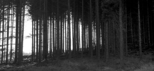 View of forest trees, Dartmoor, Devon - black and white