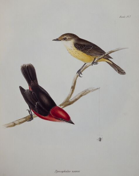 DOWN HOUSE, Kent. Two Galapagos finches drawn by John Gould. Plate 7 illustration from 'The Zoology of the Voyage of HMS Beagle part 3'