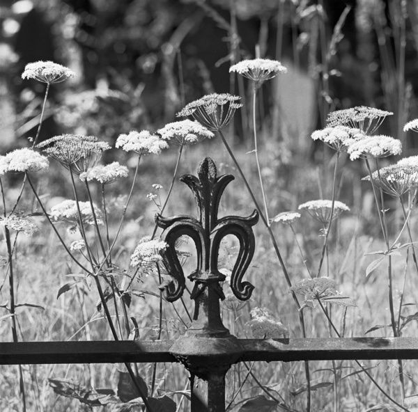 HIGHGATE CEMETERY, London. Detailed view of ironwork and wild flowers. Photographed by John Gay in the early 1980s