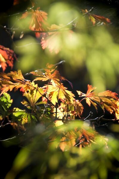 Detail of Maple leaves in Autumn N060815