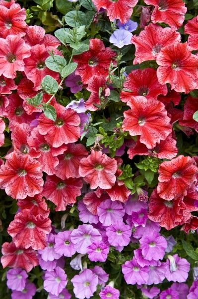 Petunia DP077203. Red and pink Petunia flowers