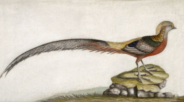 MARBLE HILL HOUSE, Middlesex. Lazenby Bequest - one of four bird pictures - species of pheasant