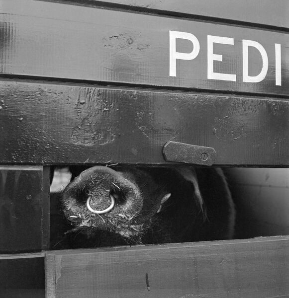 Detail of a pig's snout visible through a ventilation opening on the side of an animal transporter, probably on the Holkham Estate, Norfolk. John Gay. Date range: 1978 - 1981