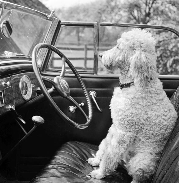 View of a car showing a poodle sitting in the driver's seat. Photographed by John Gay. Date range: 1946-1959