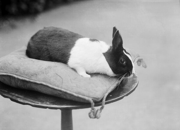 A rabbit on a cushion. Photographed in 1904 in Byfield, Northamptonshire by Alfred Newton and Sons