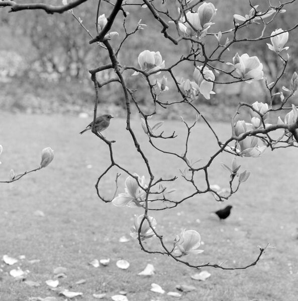 KEW GARDENS, Greater London. A robin perched on a twig of a magnolia in bloom at Kew Gardens. John Gay. Date range: Jan 1962 - May 1964