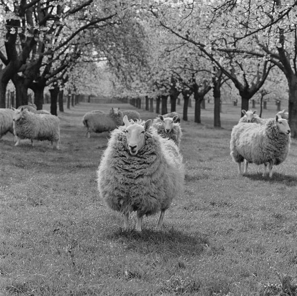 Mob of sheep and an orchard in blossom. Headcorn, Kent. April 1964. Photographed by John Gay