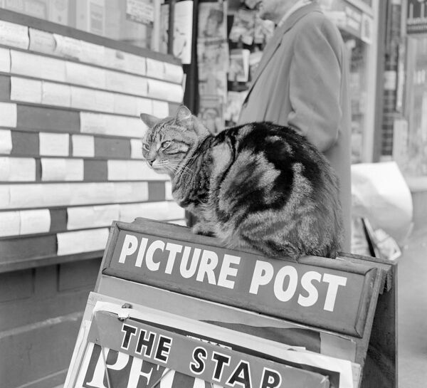 A tabby cat seated on the top of a freestanding board advertising the Picture Post and The Star outside a shop. Photograph taken by John Gay in Hampstead, London. Date range: January 1962 - May 1964