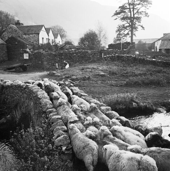 WATENDLATH, Borrowdale, Cumbria. A drove of sheep passing over Watendlath Packhorse Bridge, in the hamlet of Watendlath in Borrowdale, Cumbria, with a view of domestic and agricultural buildings to the south east. Photographed by John Gay in 1958