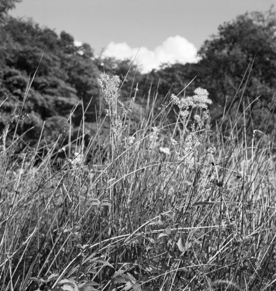 A close-up view of wild grasses growing in the Somerset countryside, with an area of woodland in the background. Photographed by John Gay. Date range: 1950-1965