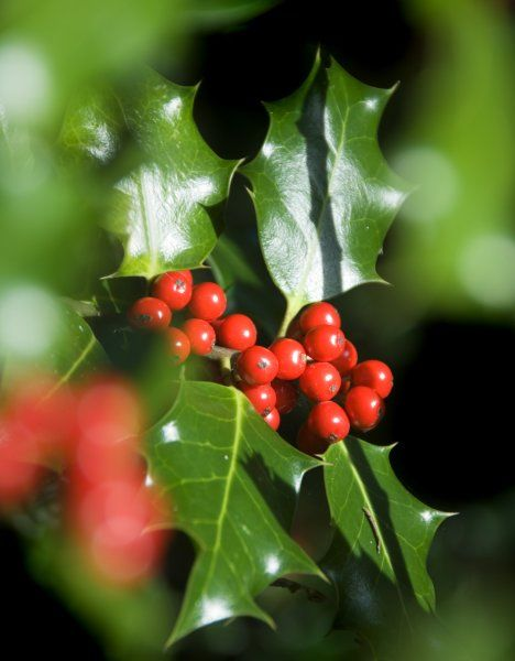 WITLEY COURT, Worcestershire. Winter Colour. Holly leaves and berries found along the woodland path