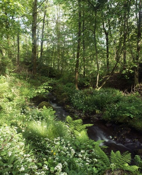 STOTT PARK BOBBIN MILL, Cumbria. View of stream running through nearby coppiced woodland