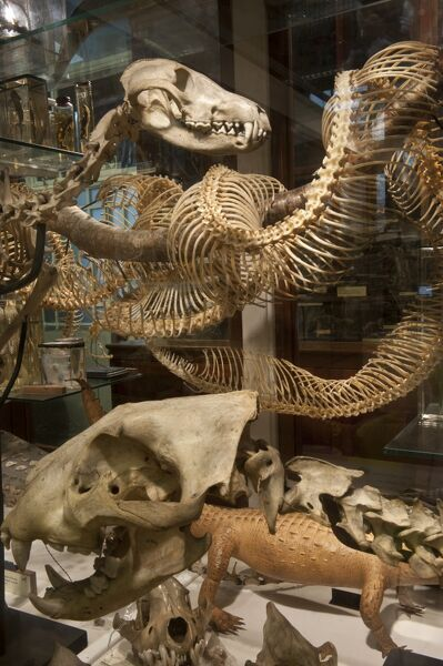 The Grant Museum of Zoology, University College London, Rockefeller Building, Universtiy Street, Camden, London.   Interior, display cases containing animal skeleons