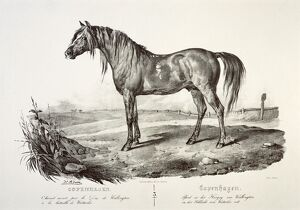 Copenhagen, the Duke of Wellington's horse J050173