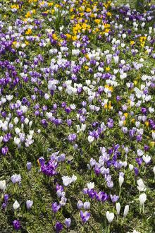 Crocuses DP074707