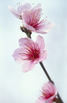'Duke of York' peach blossom M070120