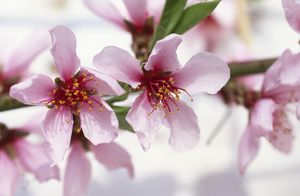 'Flat China' peach blossom M070110