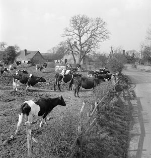 Friesian cows AA079472