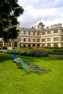 Peacock at Audley End N071334
